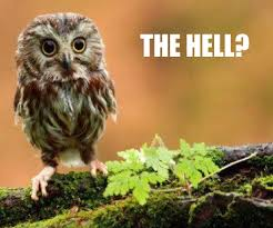shock owl